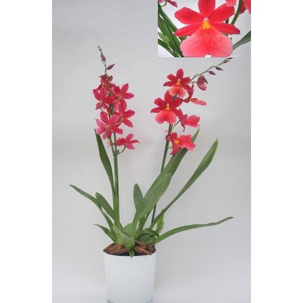 orchidee cambria stessy fleurs. Black Bedroom Furniture Sets. Home Design Ideas