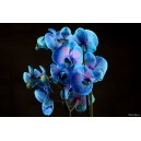 orchidées bleue