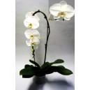 Orchidee phaleanopsis cascade