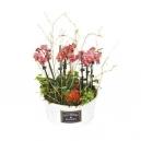 Mini orchidees